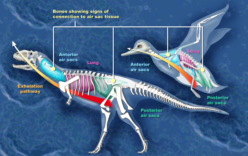 Dinosaurs' descendants - Comparison of the air sac system of birds and Majungasaurus - By Zina Deretsky, National Science Foundation [Public domain], via Wikimedia Commons