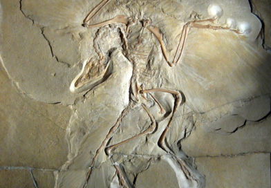 El espécimen de Berlín de Archaeopteryx lithographica: el ave que nos reveló quienes eran los descendientes de los dinosaurios.
