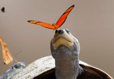 Lacrifagia: mariposa flama bebiendo las lágrimas de una tortuga charapa