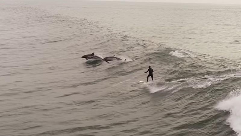 Delfines siguiendo a un surfista y saltando junto a él en la costa de Los Ángeles